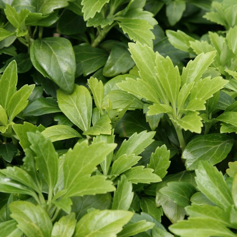 buy japanese spurge pachysandra terminalis delivery by. Black Bedroom Furniture Sets. Home Design Ideas