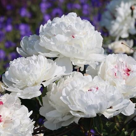 Paeonia lactiflora Festiva Maxima