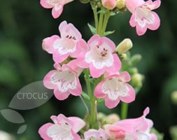 Penstemon Apple Blossom