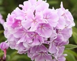 Phlox paniculata Franz Schubert