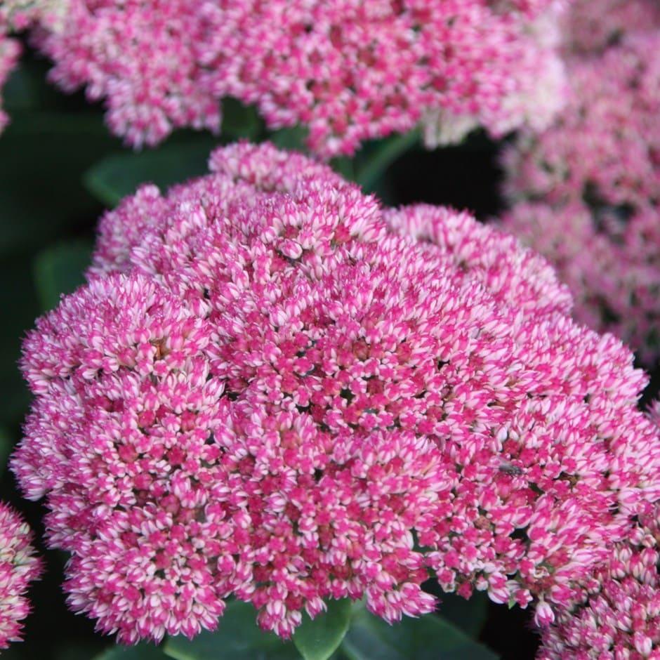 stonecrop (syn Sedum Autumn Joy)