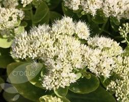ice plant (syn Sedum )