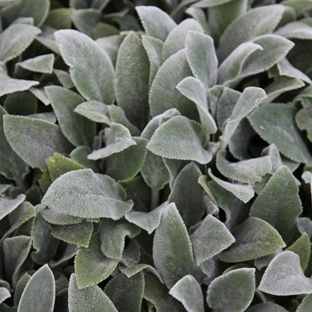 Stachys byzantina Silver Carpet