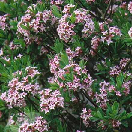 Daphne × burkwoodii Somerset