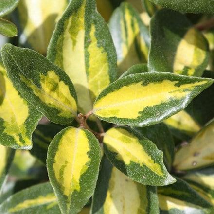 Elaeagnus × submacrophylla Limelight