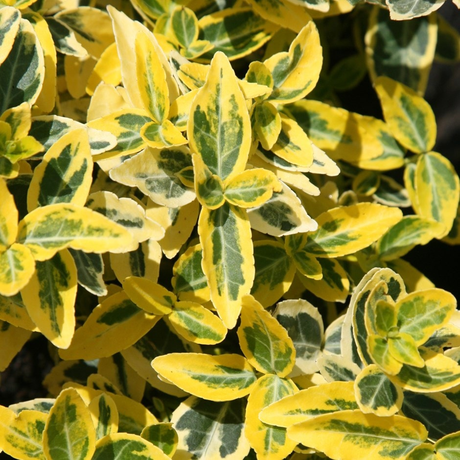 buy winter creeper euonymus fortunei 39 emerald 39 n 39 gold. Black Bedroom Furniture Sets. Home Design Ideas