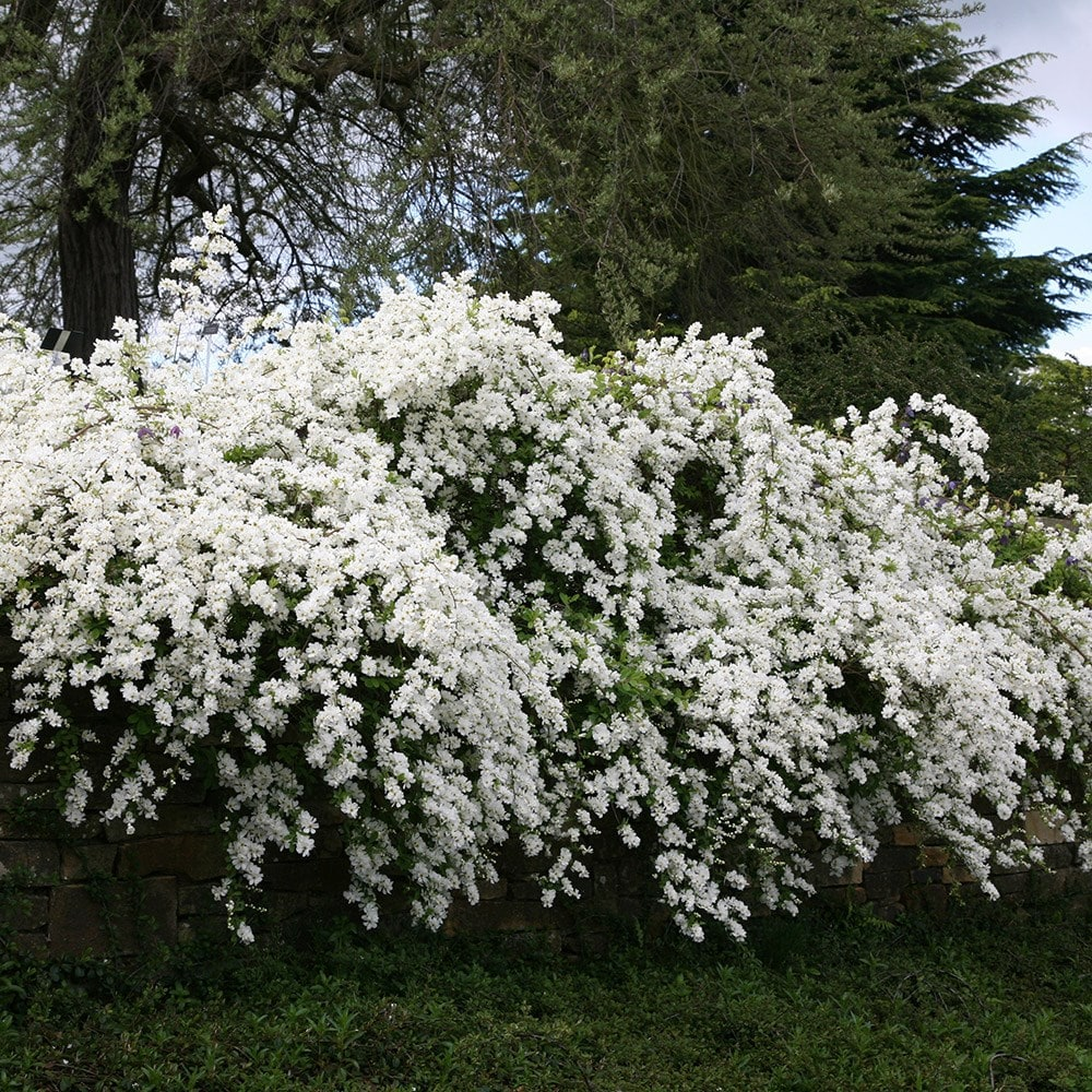 Buy pearl bush Exochorda × macrantha The Bride: £17.99 ...