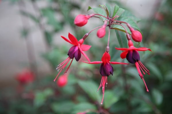 <i>Fuchsia</i> 'Mrs Popple'