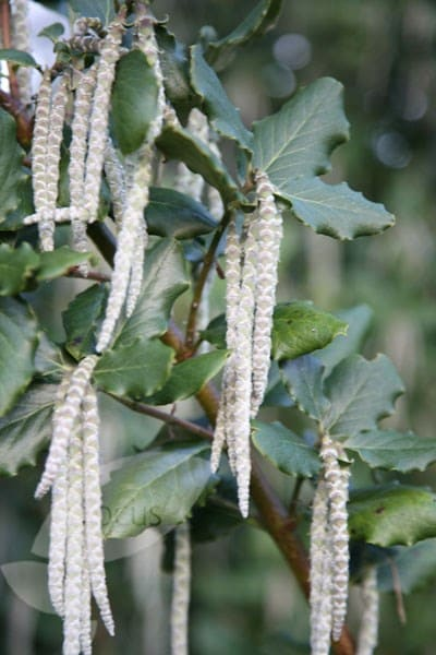 <i>Garrya elliptica</i> 'James Roof'