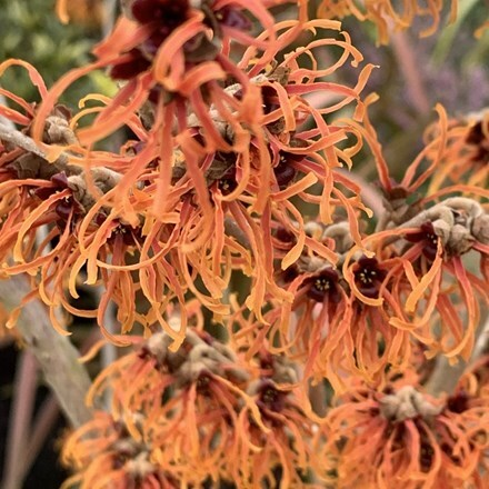 Hamamelis × intermedia Jelena