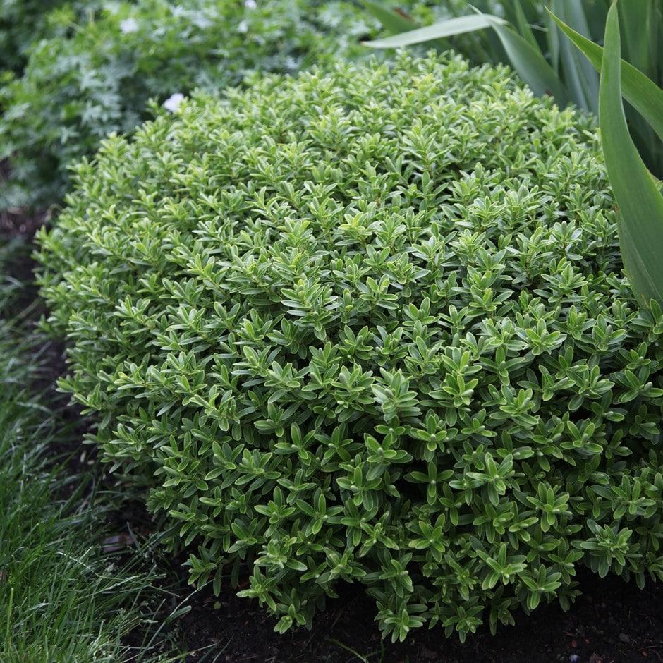 Buy shrubby veronica Hebe rakaiensis: Delivery by Crocus