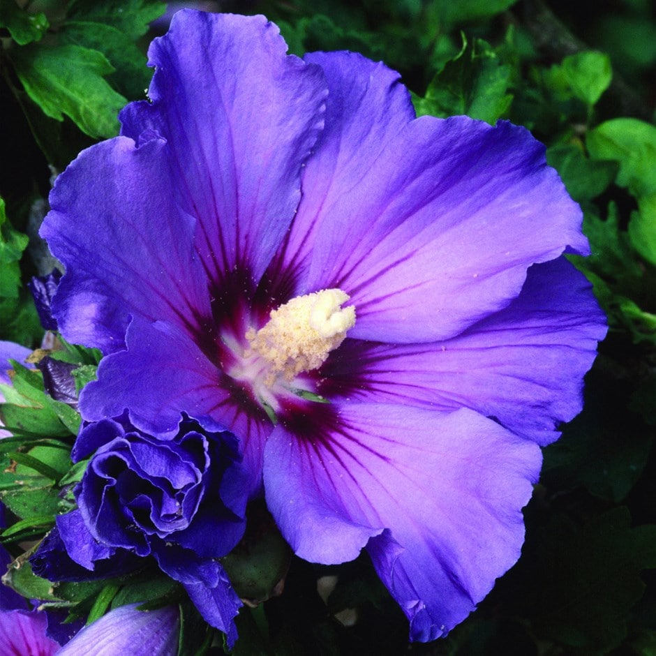 buy tree hollyhock syn blue bird hibiscus syriacus. Black Bedroom Furniture Sets. Home Design Ideas