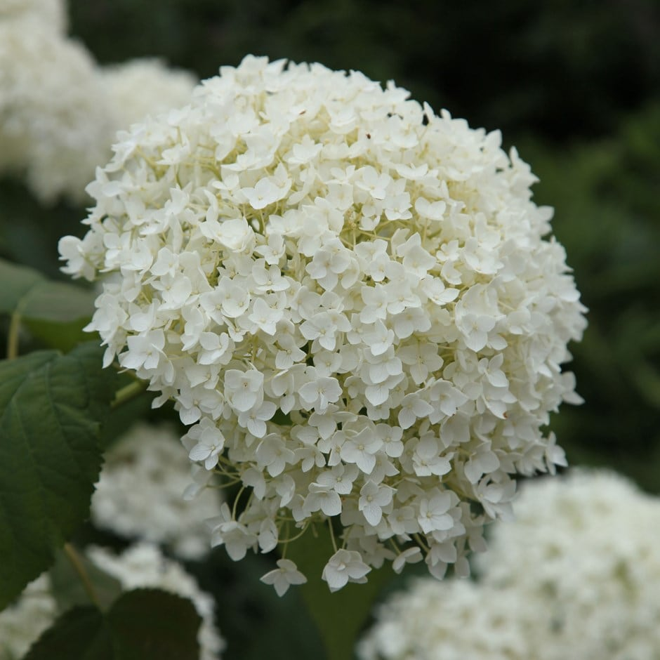 Buy Sevenbark Hydrangea Arborescens Annabelle Delivery By Waitrose Garden In Association With Crocus