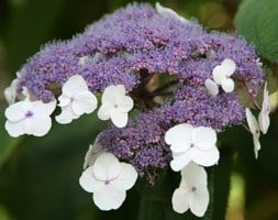 rough-leaved hydrangea