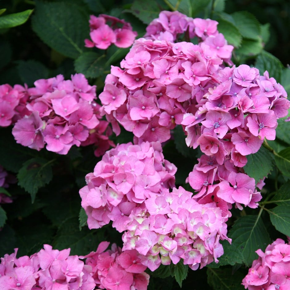 buy mophead hydrangea hydrangea macrophylla altona delivery by crocus. Black Bedroom Furniture Sets. Home Design Ideas