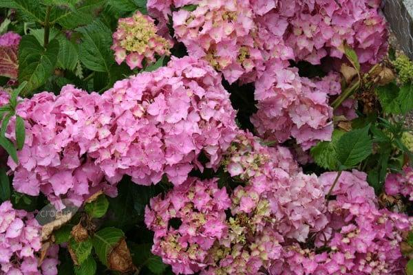 Buy Mophead Hydrangea Hydrangea Macrophylla Altona 163 14 99