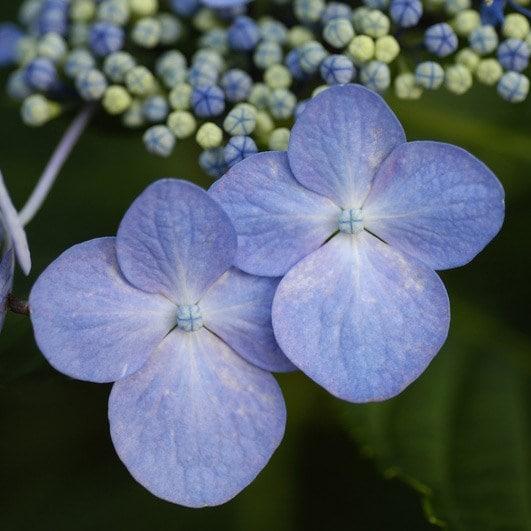 Buy Lacecap Hydrangea Syn Blue Wave Hydrangea