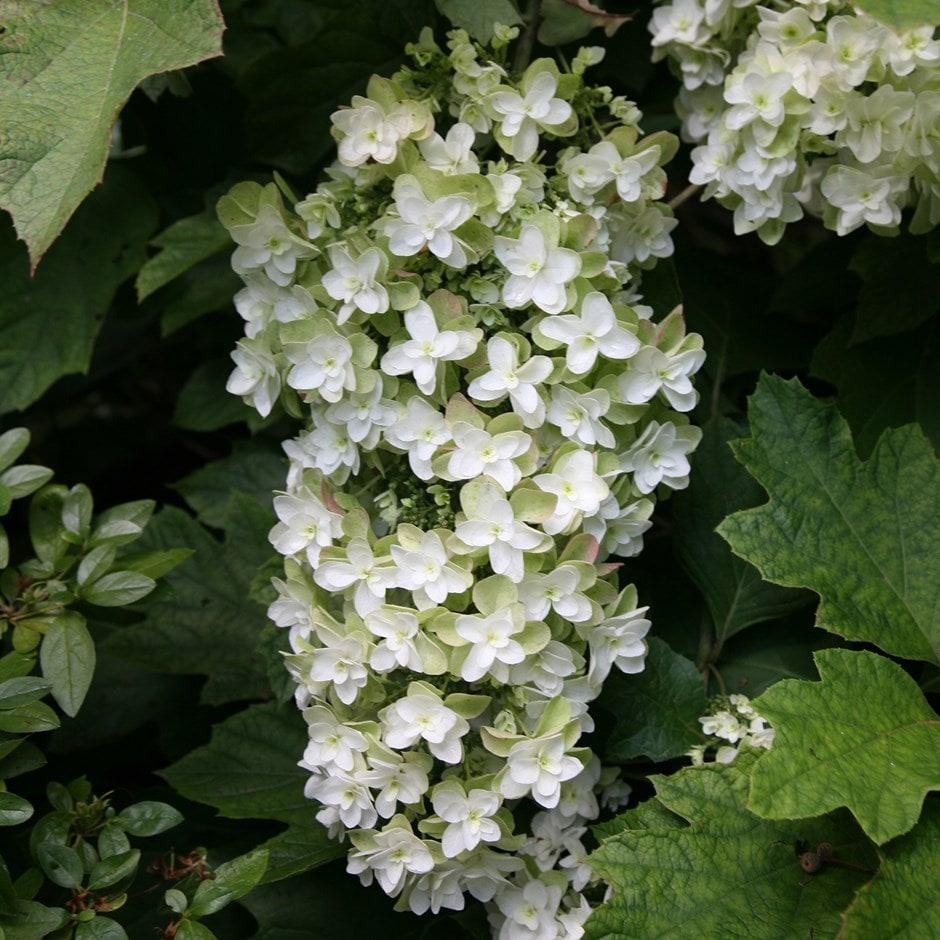 Buy oak leaved hydrangea hydrangea quercifolia snowflake for Hydrangea quercifolia