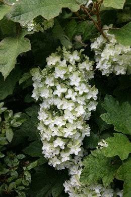 Hydrangea quercifolia Snowflake ('Brido')