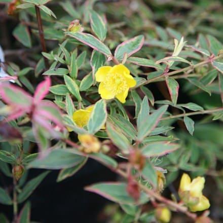 Hypericum × moserianum Tricolor