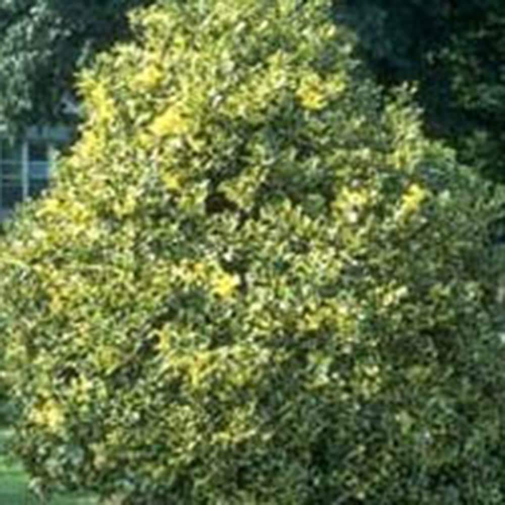 <I>Ilex</i> × <i>altaclerensis</i> 'Golden King'