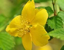 Japanese rose 'Golden Guinea'