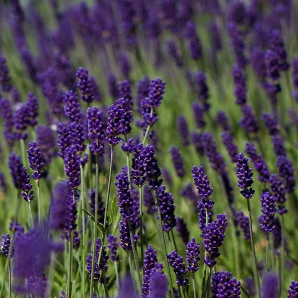 buy lavender lavandula angustifolia hidcote delivery by crocus. Black Bedroom Furniture Sets. Home Design Ideas