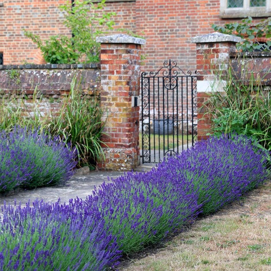 Buy Lavender Lavandula Angustifolia Hidcote: £12.99