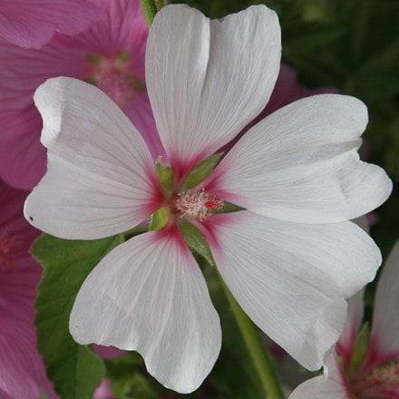 Lavatera × clementii Barnsley