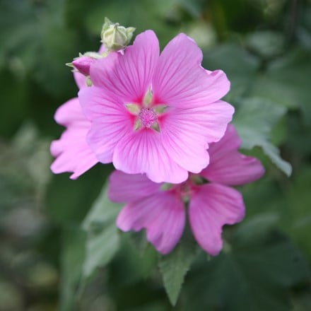 Lavatera × clementii Rosea