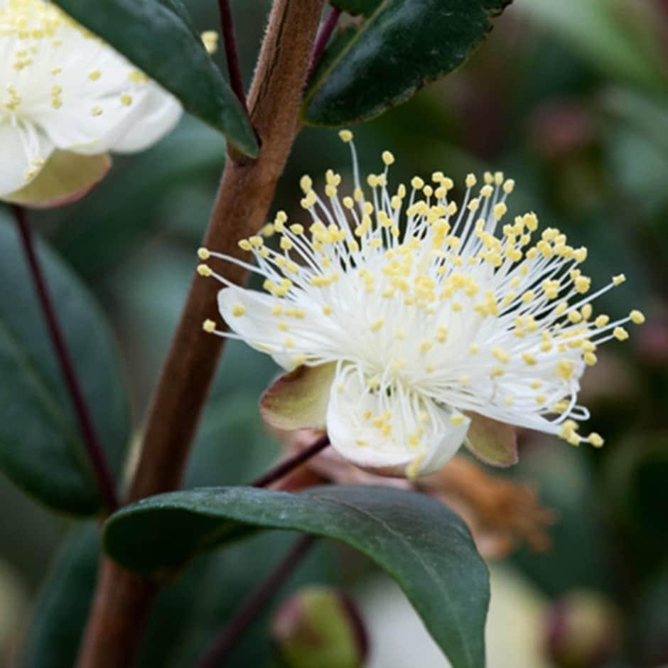 Buy Myrtle Myrtus Communis Subsp Tarentina 163 17 99
