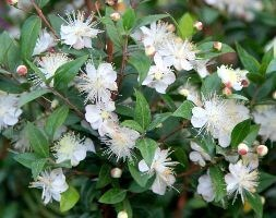 common myrtle / Myrtus communis