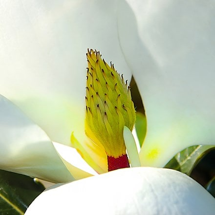 Magnolia grandiflora Little Gem