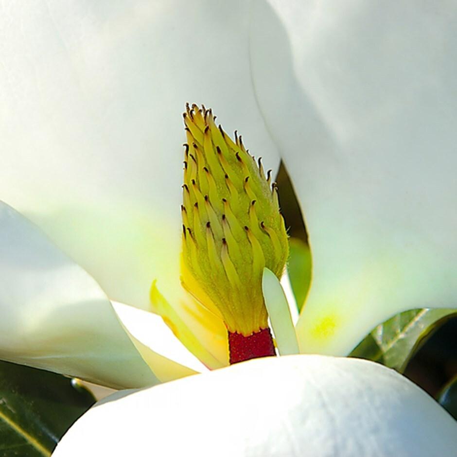 Buy Evergreen Magnolia Magnolia Grandiflora Little Gem 4999