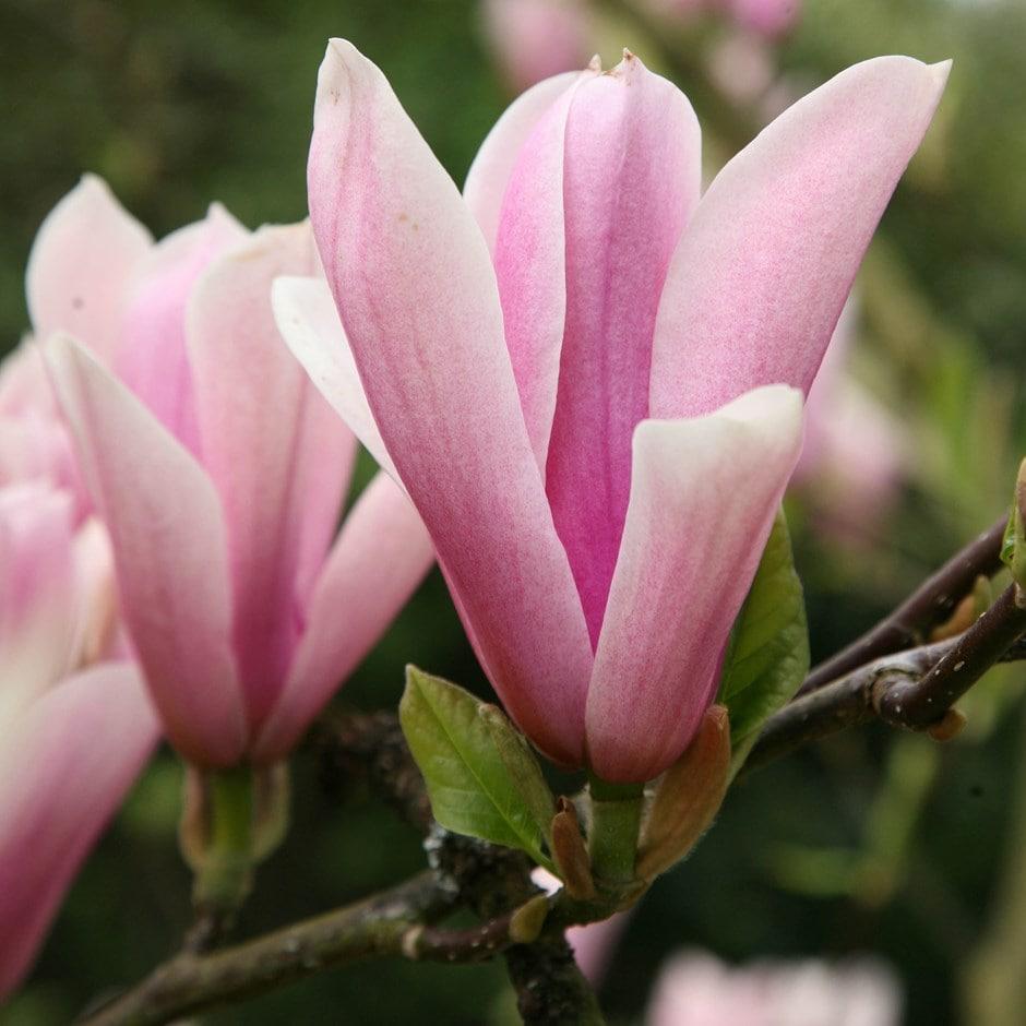 Buy Magnolia Magnolia Heaven Scent Delivery By Waitrose