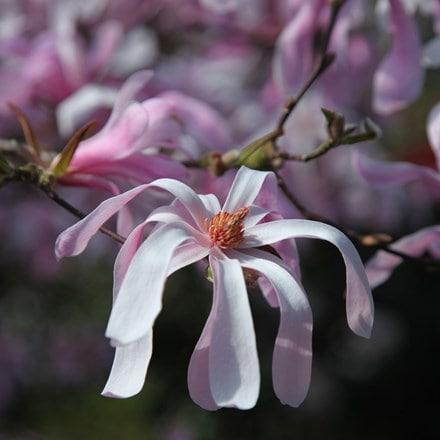 Magnolia × loebneri Leonard Messel