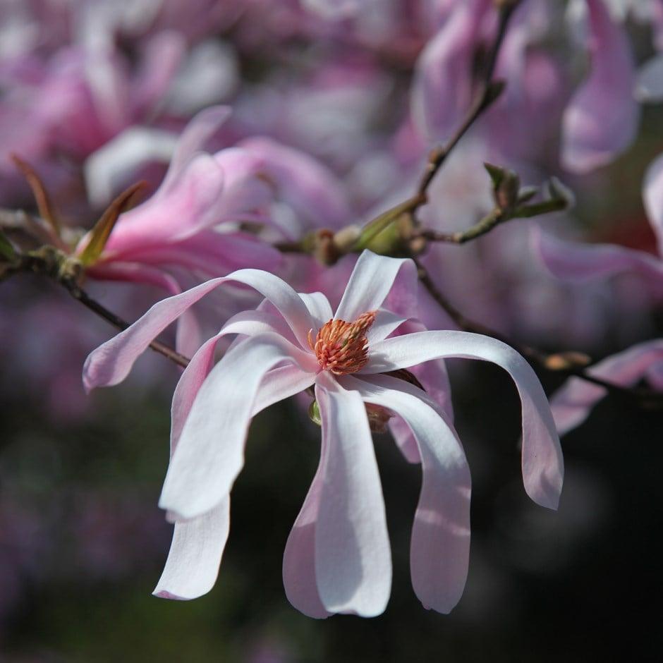 Buy Magnolia Magnolia 215 Loebneri Leonard Messel