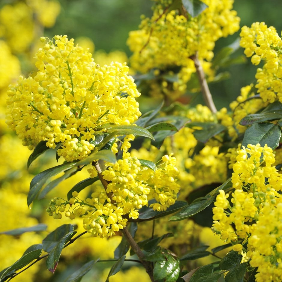 Buy Oregon Grape Mahonia Aquifolium Apollo 163 7 99 Delivery