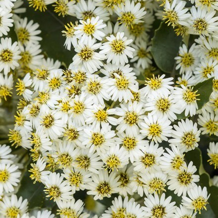 Olearia × haastii