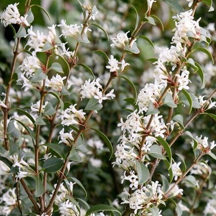 Osmanthus × burkwoodii