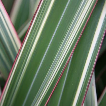 Phormium cookianum subsp. hookeri Tricolor