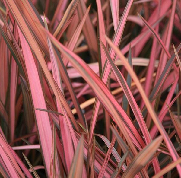 Buy New Zealand Flax Syn Rainbow Sunrise Phormium Maori
