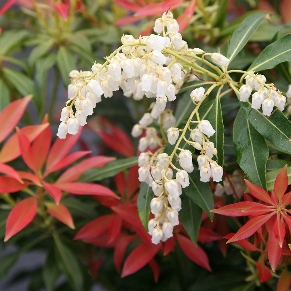 Buy Lily Of The Valley Shrub Pieris Forest Flame