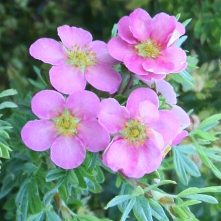 Potentilla fruticosa Lovely Pink ('Pink Beauty')