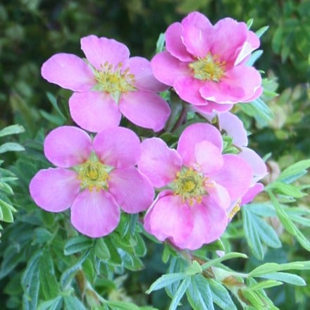 Potentilla fruticosa Pink Beauty