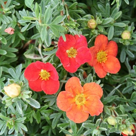 Potentilla fruticosa Marian Red Robin ('Marrob') (PBR)