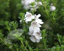 alpine mint bush