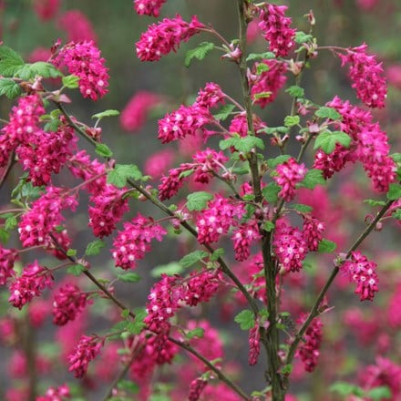 Ribes sanguineum Pulborough Scarlet