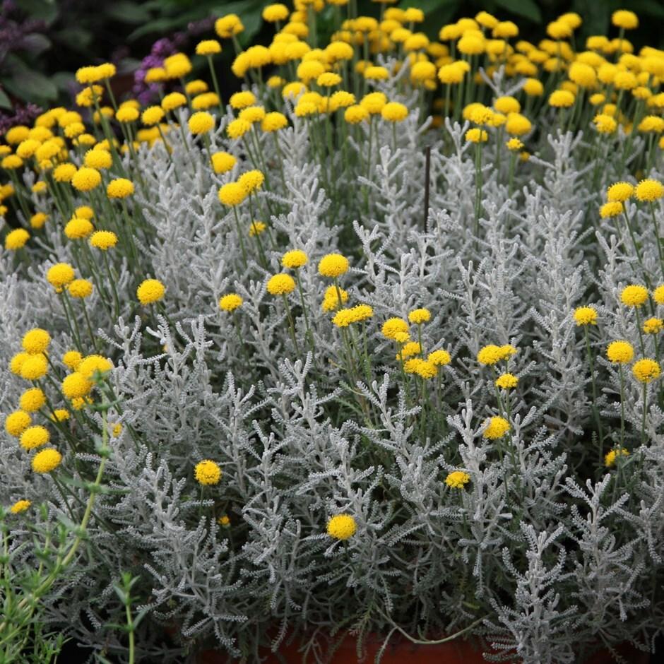 Buy Cotton Lavender Santolina Chamaecyparissus Delivery