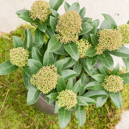 Skimmia japonica Fragrans
